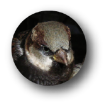 house sparrow photo